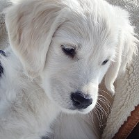 English Golden Retriever Puppy