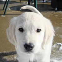 Cute Golden Retriever Puppy North Carolina