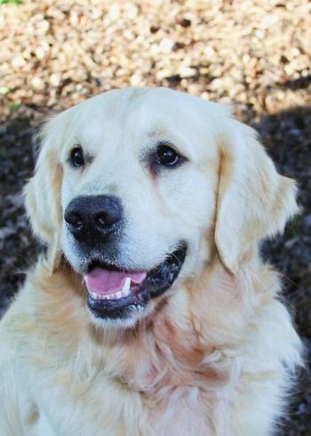 English Golden Retriever Puppies North Carolina Auregrande